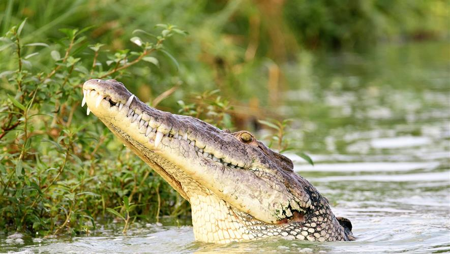 Bidra.no - Hjelp meg redde de Amerikanske krokodillene